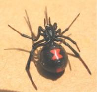 Black_widow_ventral_1370